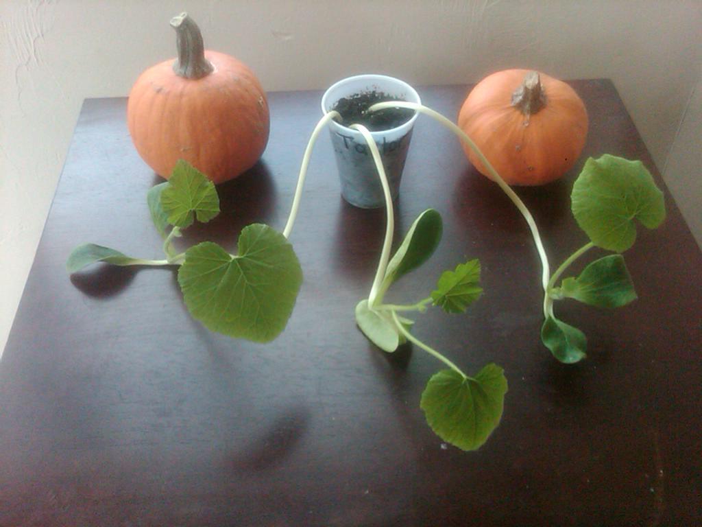 two little pumpkins, growing pumpkins from seeds