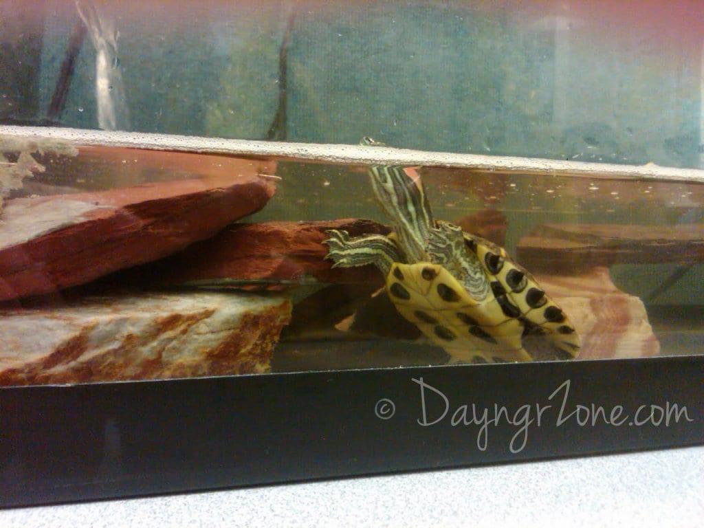 shrimp the turtle