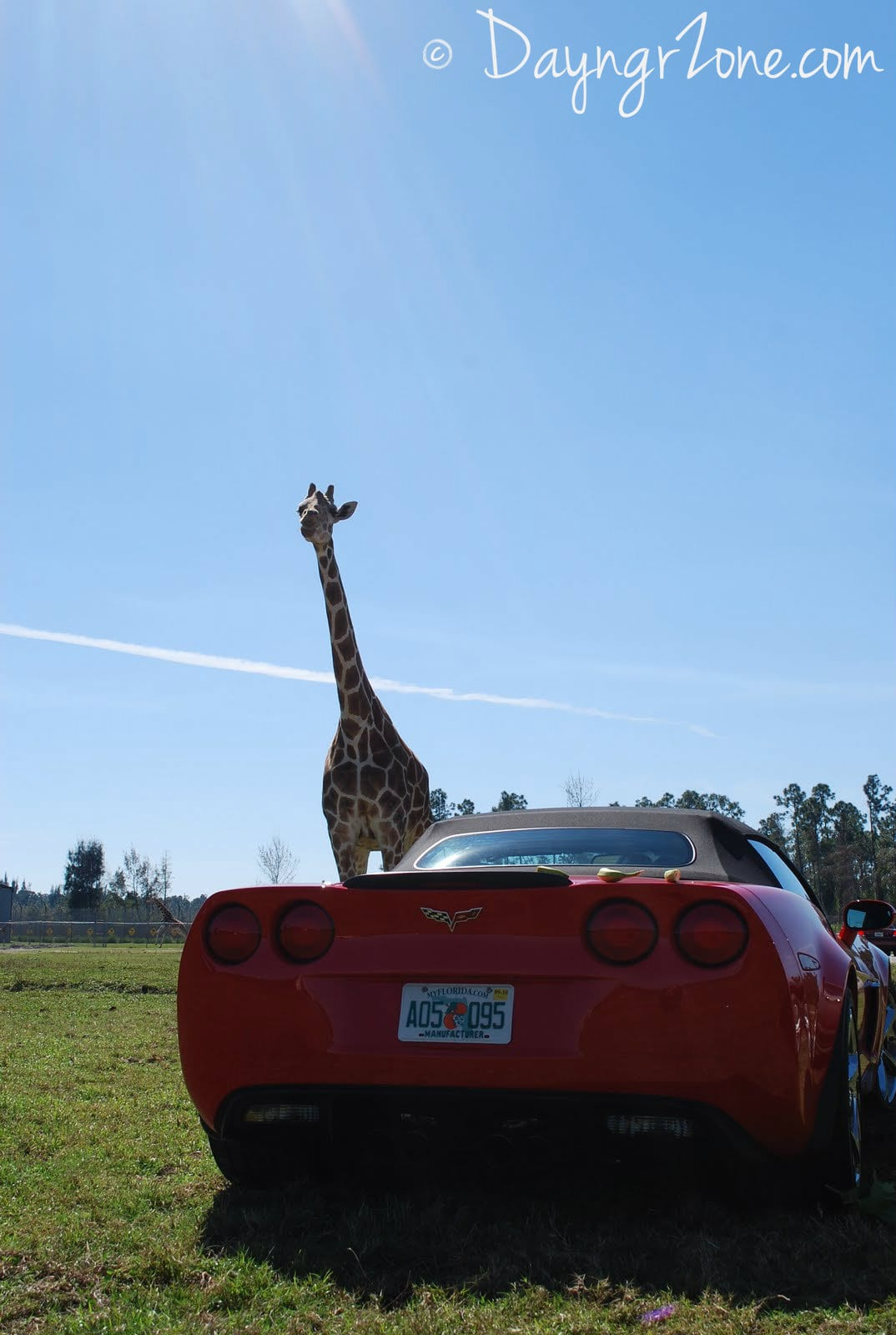 Giraffes and Corvettes