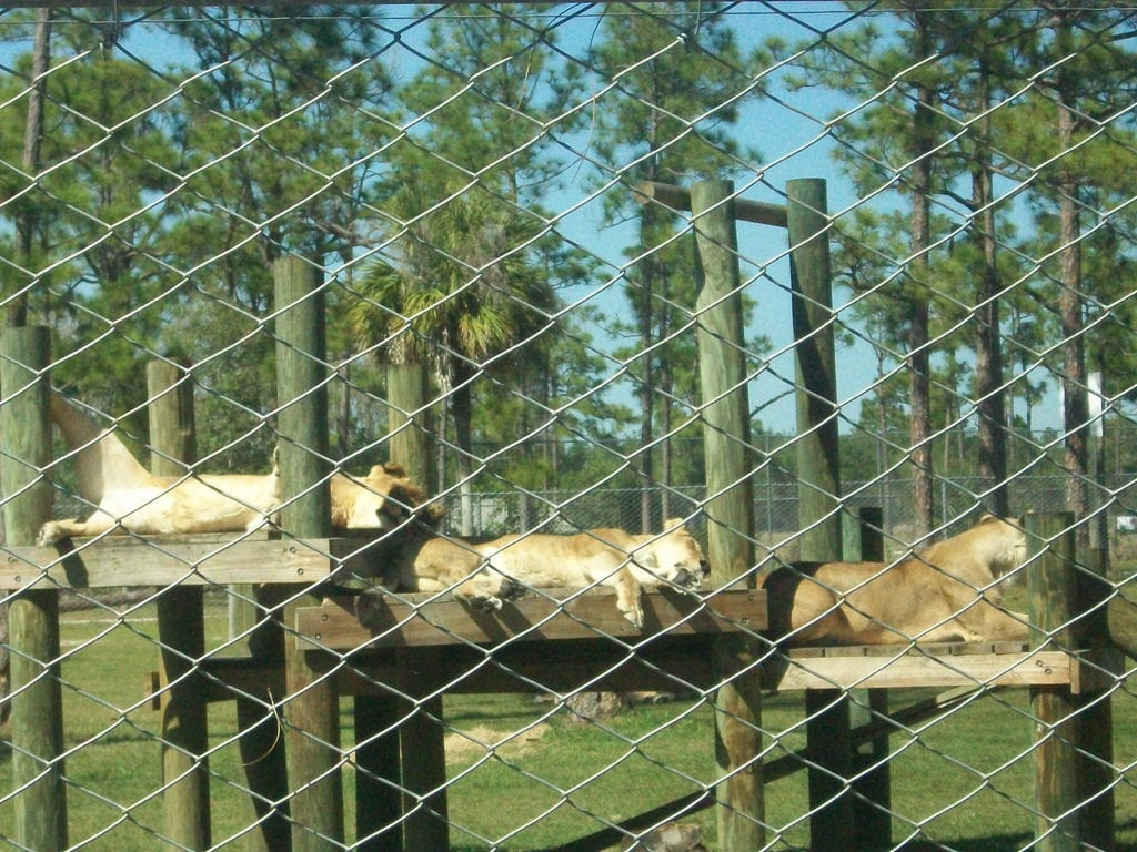 lions-at-chevy-roar-event-lion-country-safari