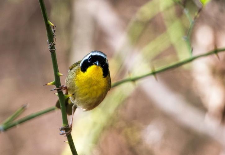 yellow-throated-stabone