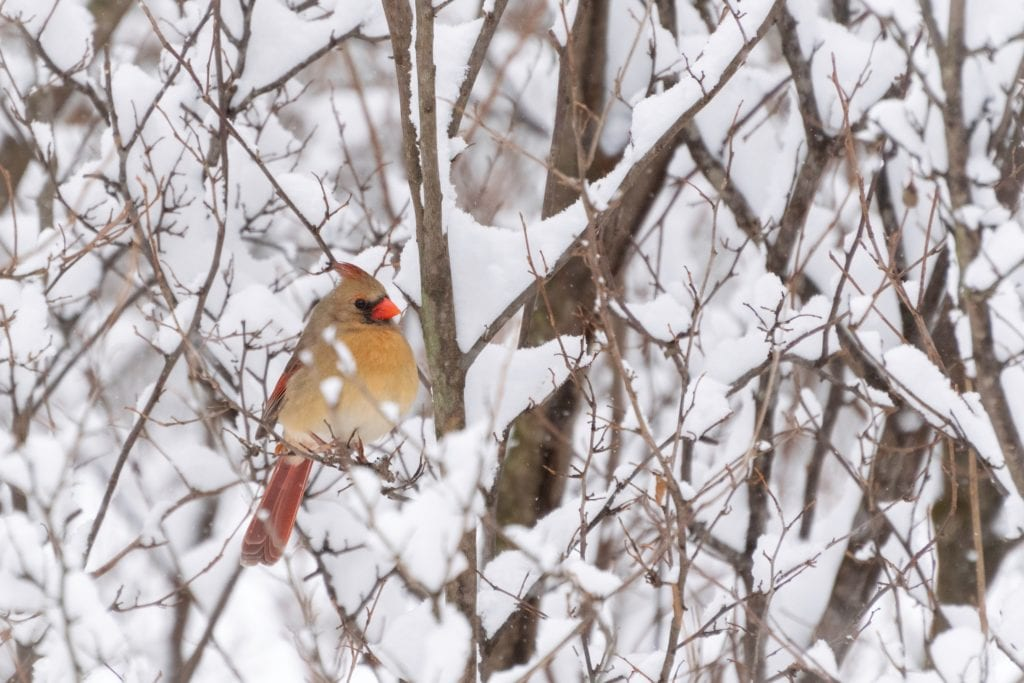 Bird in snow, Female Cardinal, cardinal in a snowy tree