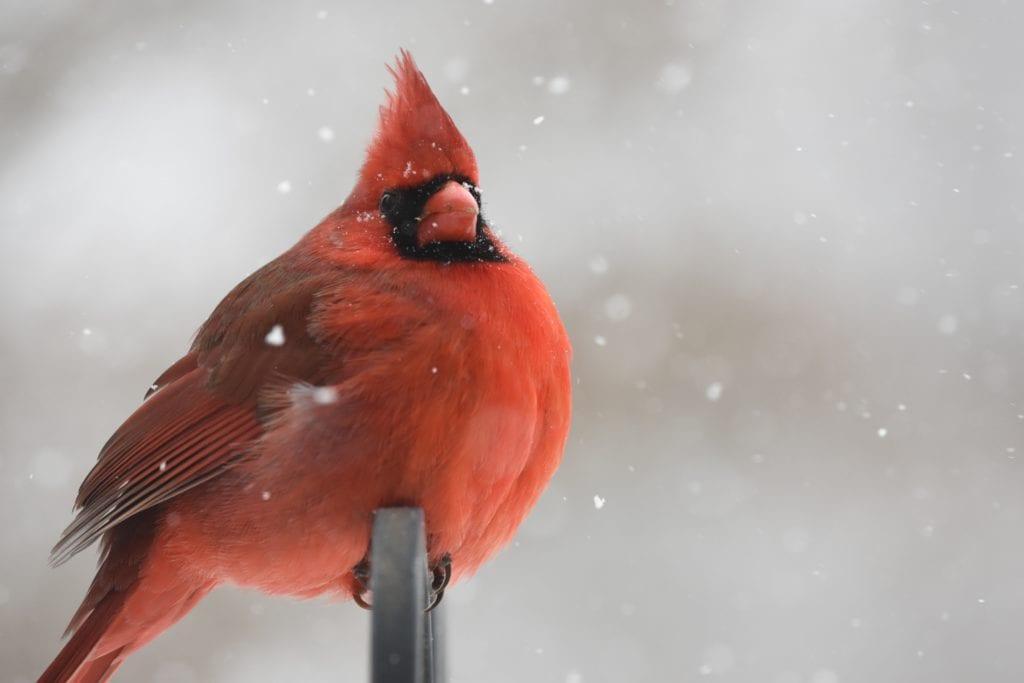 cardinal, winter cardinal, cardinal in snow