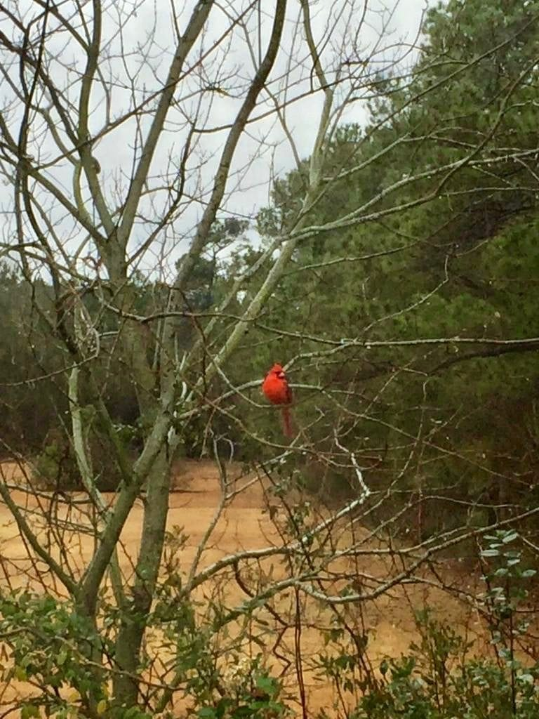 Swansboro Cardinal, Cardinal, Crystal Coast Birds
