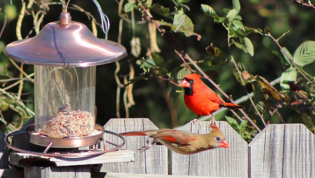 cardinals feeding, female cardinal, cardinals and bird feeder