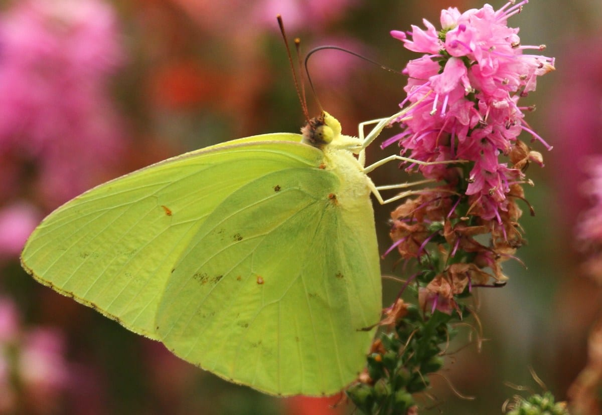 Sulfur butterfly, cloudless sulfur butterfly